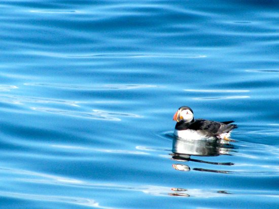 Robertson Sea Tours & Adventures: a pretty puffin