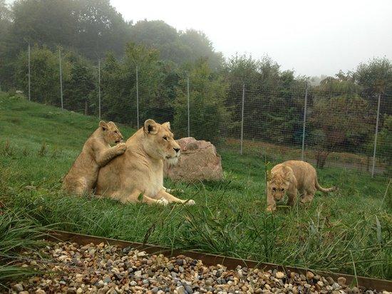 Parc Zoologique Cerza : lions