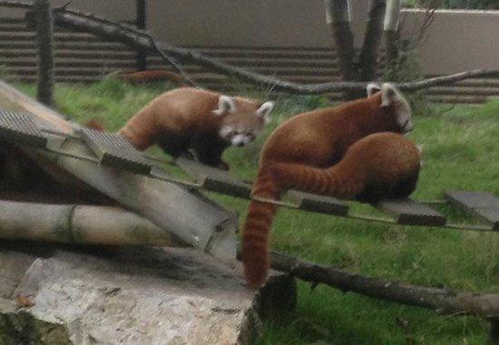 Parc Zoologique Cerza: panda roux