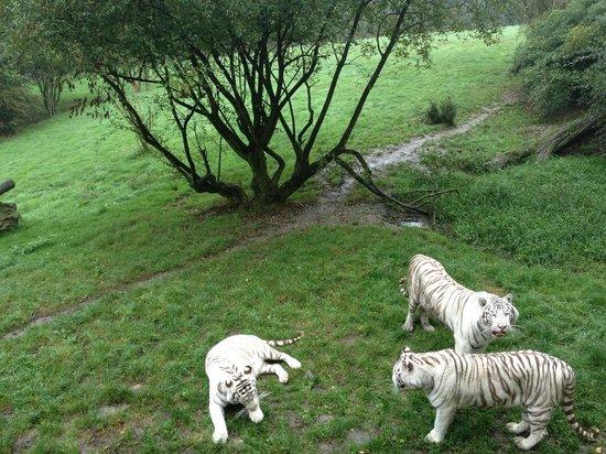Parc Zoologique Cerza: tigre blanc