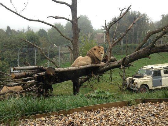 Parc Zoologique Cerza: lion