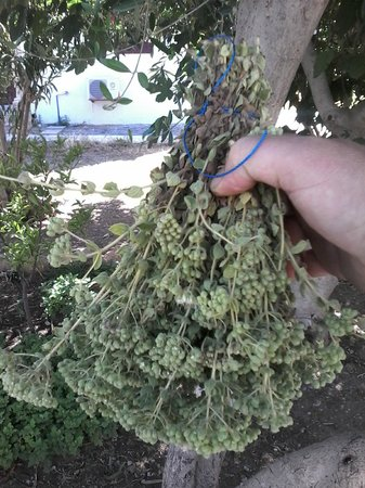 Kalypso Restaurant: picking wild oregano for our recepies