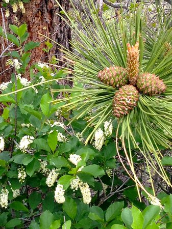 Mesa Trail: Spring flowers with pine cones