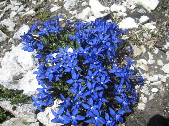 Rifugio Cavazza Franco Al Pisciadu: fiori in quota in  luglio