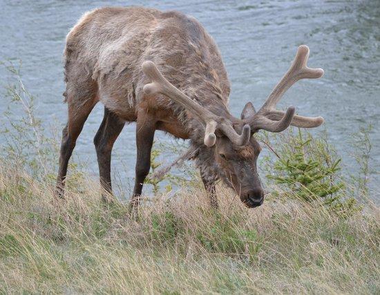 Jasper Tour Company: Male Elk