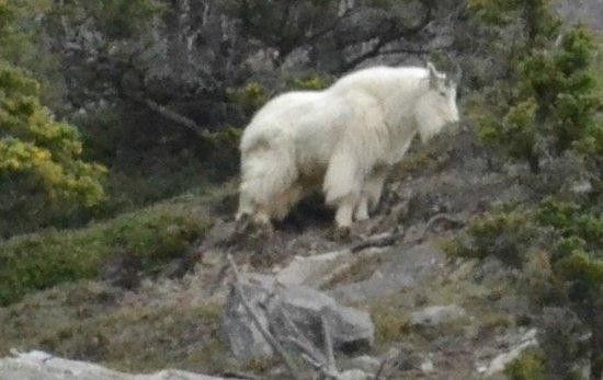 Jasper Tour Company: Mountain Goat