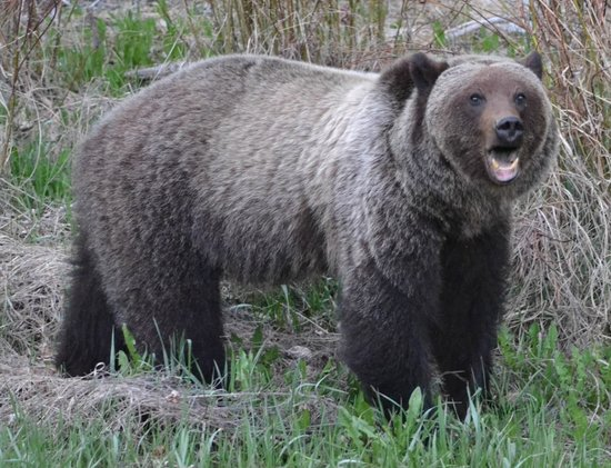 Jasper Tour Company: Grizzly