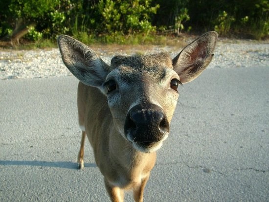 Lower Keys, Floryda: Our little treasures:  Key Deer