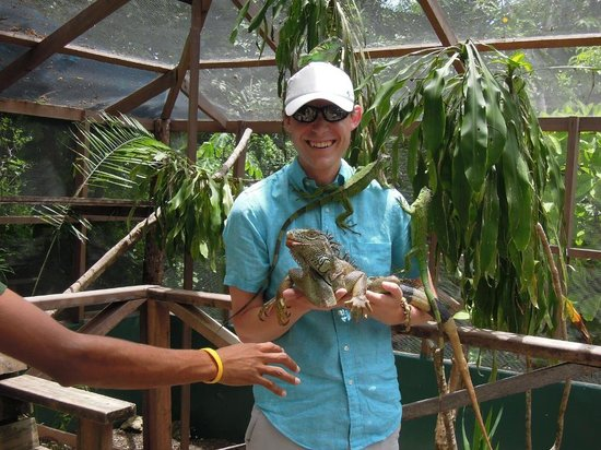Green Iguana Conservation Project: Holding Gomez and playing perch for some of his friends