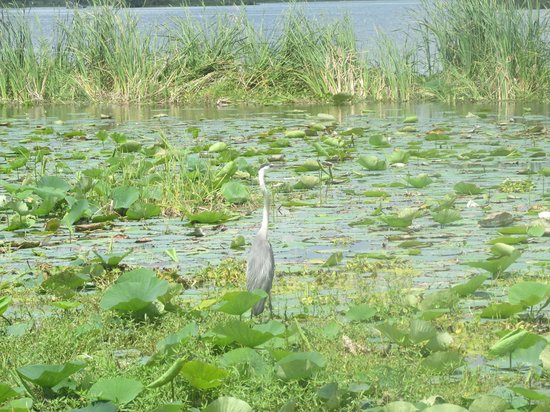 Florida Cracker Airboat Rides & Guide Service: More birds