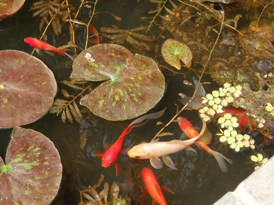 Bennetts Water Gardens: Goldfish in the hothouse