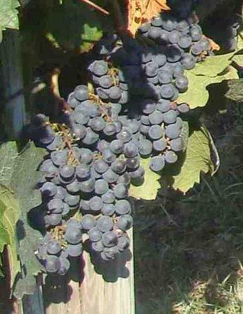 La Camporena, Agriturismo Anna : la nostra uva
