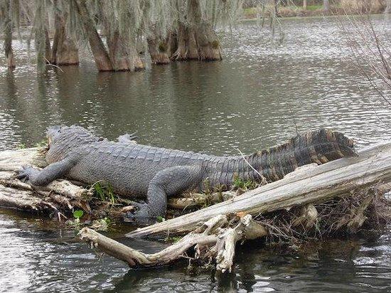Cajun Country Swamp Tours: Gator gettin some sun