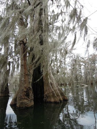 Cajun Country Swamp Tours: Cool trees with spanish moss