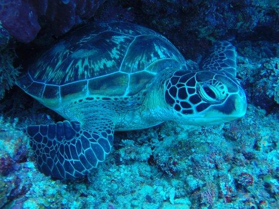 Bunaken Island Resort: schildpad!!