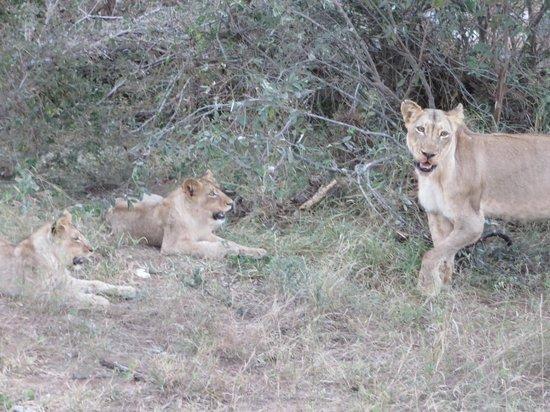 Naledi Bushcamp and Enkoveni Camp: Lions