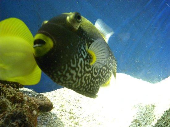 Ubatuba Aquarium: Baiacu