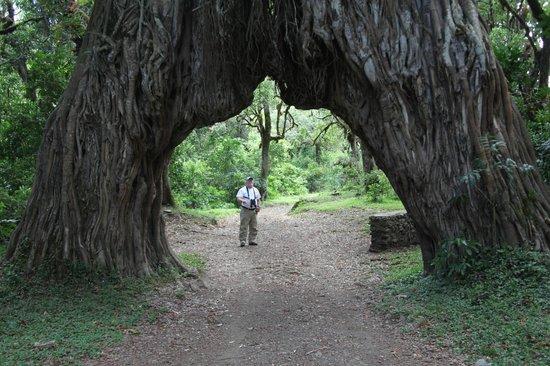 Arusha National Park: Strangler Fig