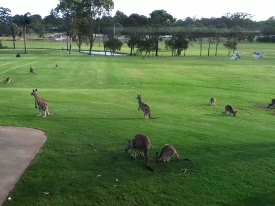 Port Macquarie Driving Range and Mini Golf: kangaroos playing at the Golf Driving Range