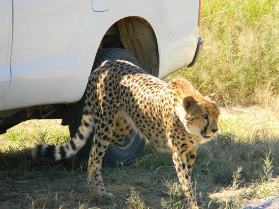 Hoedspruit Endangered Species Centre: cheetah