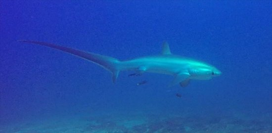 Thresher Cove Dive Resort: Dive with Thresher Sharks