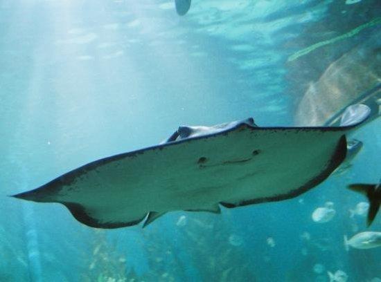 Sea Life Melbourne Aquarium: Smooth Stingray