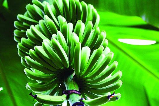 Bunches of Fun Banana Farm Tours