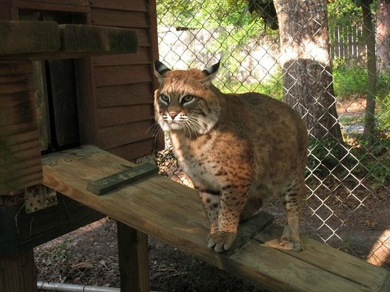 Bear Creek Feline Center: Just a beautiful day to visit with a bobcat. :)