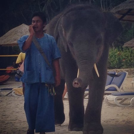 Le Meridien Phuket Beach Resort: baby elephant visits