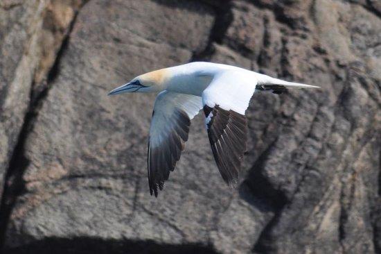 Réserve Naturelle des Sept Îles: Fou