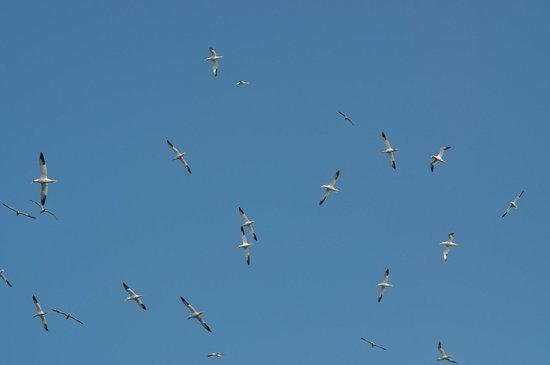 Réserve Naturelle des Sept Îles: Fous en vol
