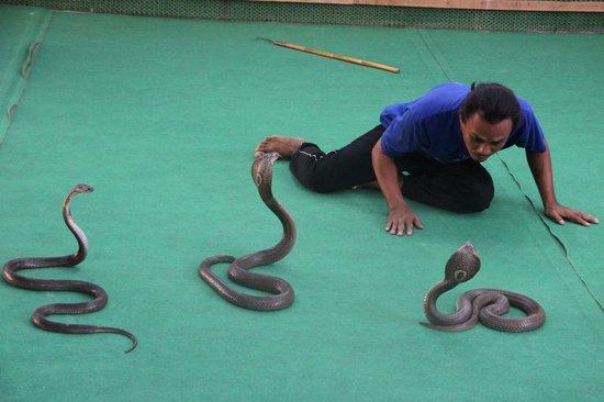 Samui Crocodile Farm : Cobra show