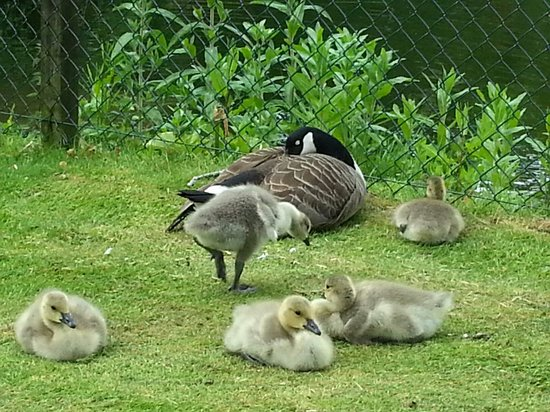Steps Farmhouse: Even the geese are relaxed
