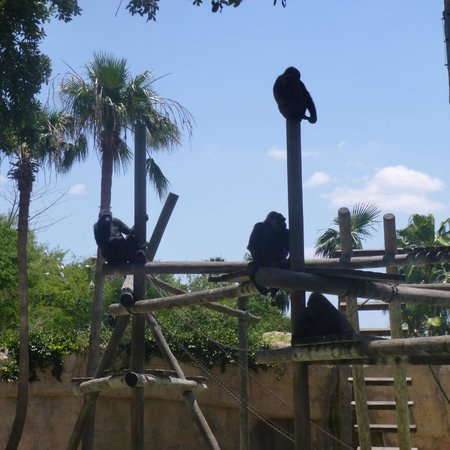 Gladys Porter Zoo: A family of Gorilla's