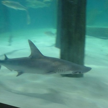 Gladys Porter Zoo: 3' Hammer Head Shark