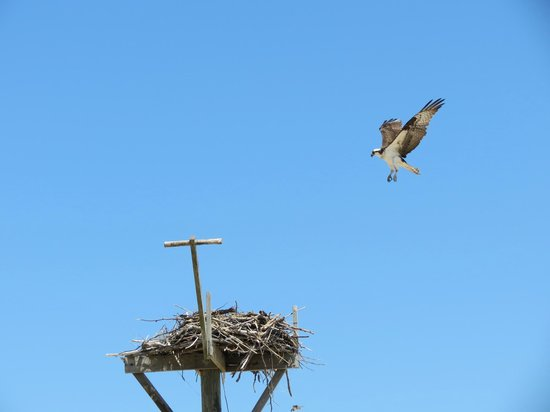 Orient Beach State Park: Osprey applying brakes