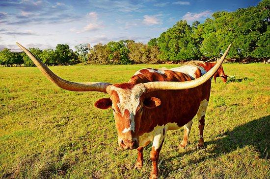 Enchanted Springs Ranch : Longhorns!