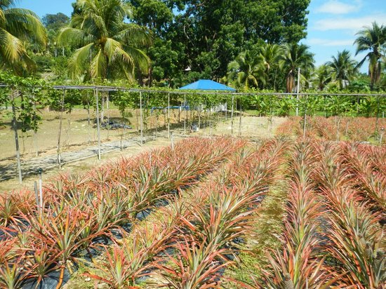 MARDI Langkawi Agro Technology Park: pineapple