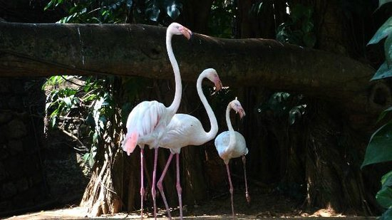 National Zoological Gardens of Sri Lanka: Flamingoes at the entrance