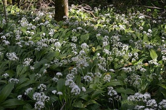High Force Waterfall: Wild garlic grows beside the pathway