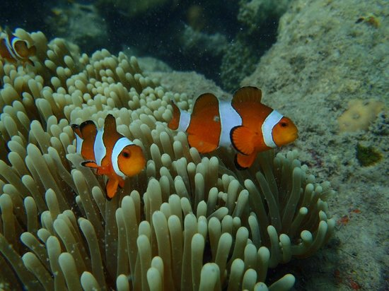 Andaman Bubbles: Nemo we saw..Clown Fish