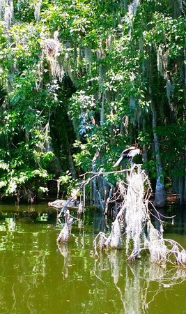 Lake Dora: Look closely & you'll see an alligator in the water to the left laying right under a birds nest