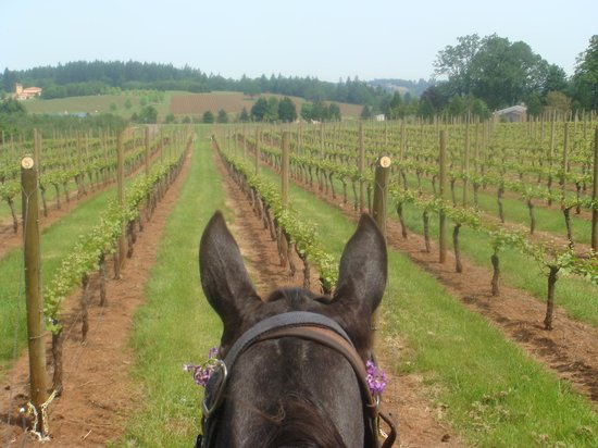 Carlton, OR : A new view of the vines ....