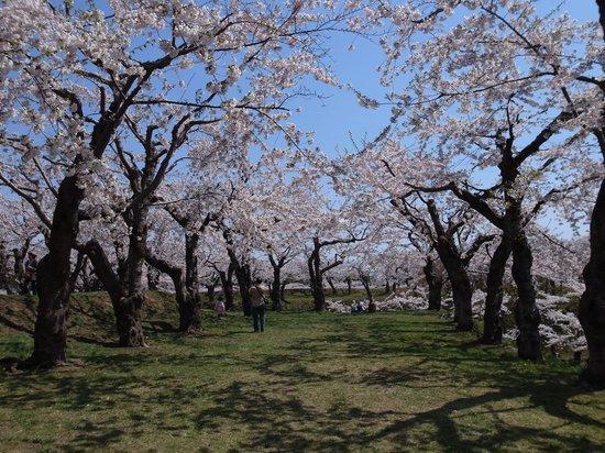 Goryokaku Park : 土塁の上の桜並木