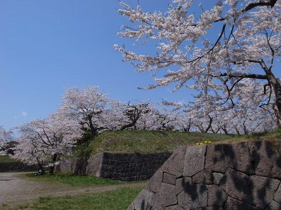 Goryokaku Park : 石垣と桜