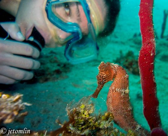 N2theBlue Scuba Diving: longsnout seahorse at Frederiksted Pier