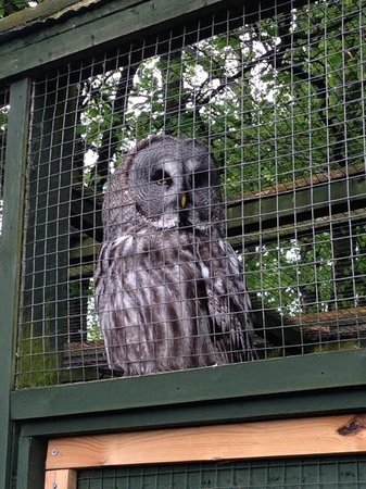 Dalhousie Castle : owl at the falconery