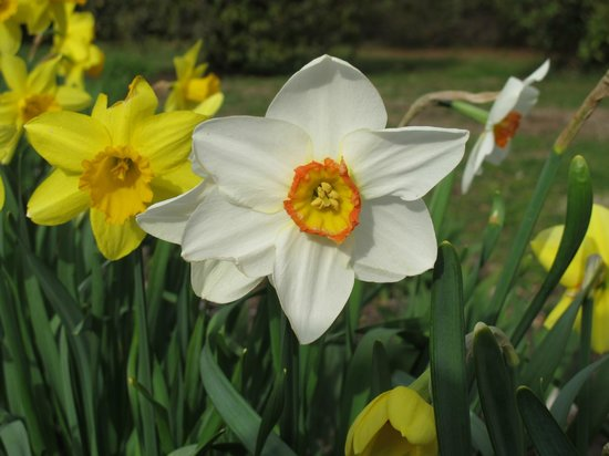 Daffodil at Colt State Park
