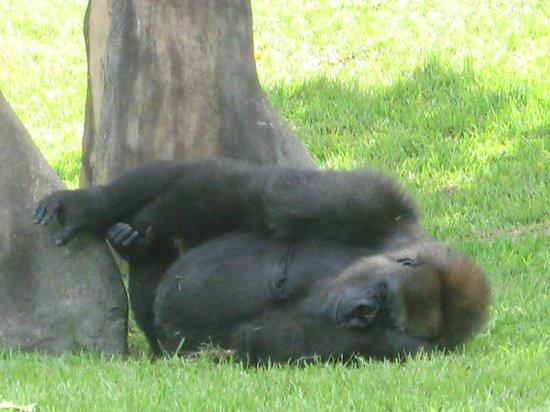 Zoo Miami: Funny Gorilla