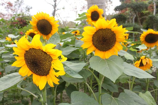 Nanyuan Resort, Lakeview : sea of sunflowers